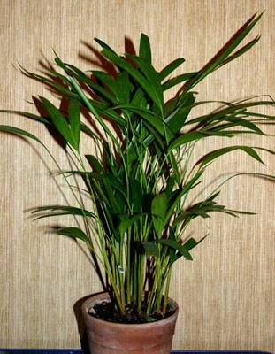 Пальма бетель
