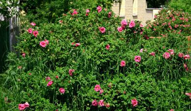 Морщинистая роза в ландшафтном дизайне