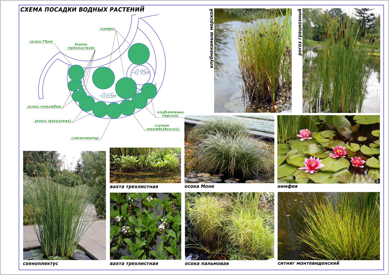 Схема посадки растений для пруда