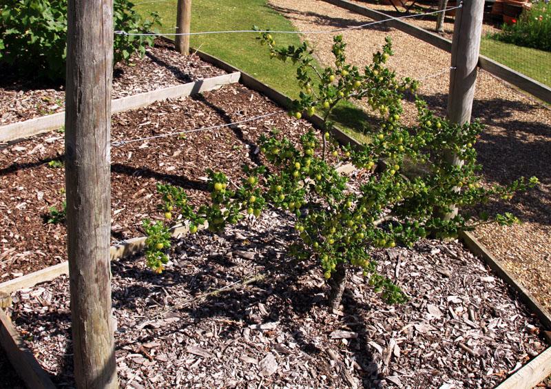 Как из черенка яблони вырастить дерево - 2013