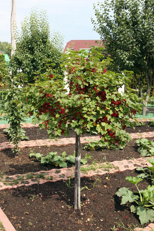Выращивание штамбовой смородины 29